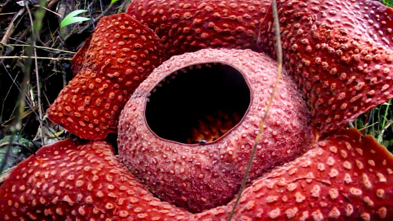 Smells Like Rotting Flesh Rare Flower Blooms In Indonesia Youtube