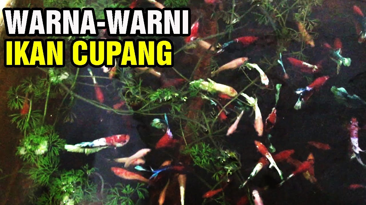 Warna Warni Ikan Cupang Hias - YouTube