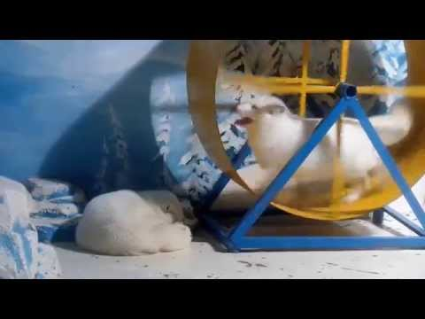 Happy Arctic Fox in Giant Hamster Wheel
