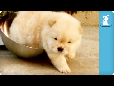 Chow Puppy Can't Get Out Of Bowl