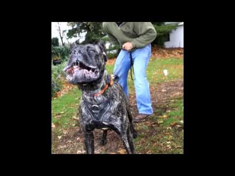 BIG BEN: Amazingly Trained Cane Corso From Man's Best Friend Dog Training