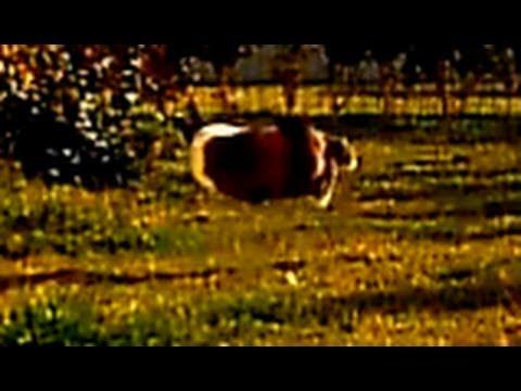 """Completely insane rabbit – Merlot…coniglio """"Abarth"""" (video divertenti animali)"""