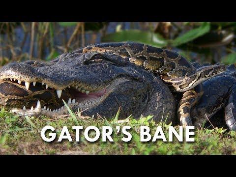 Pythons Eat Alligators