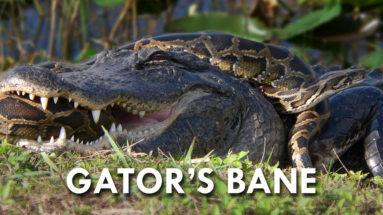 how to avoid alligators in florida