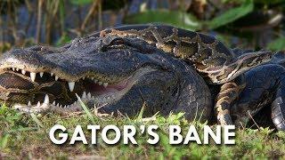 Pythons: The Deadliest Invasive Species