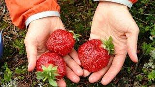 Как клубнику посадить?(Как сажать клубнику? Как в саду клубнику посадить? Как посадить правильно и вырастить клубнику. Посадка..., 2014-09-15T11:37:12.000Z)