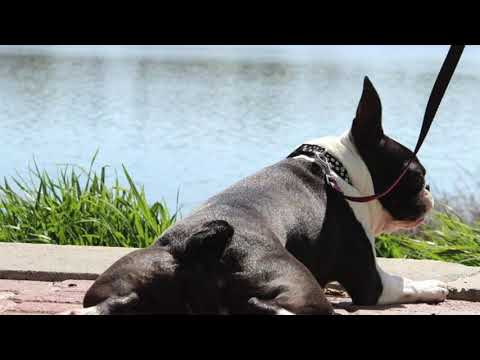 What is the Boston Terrier standard for Colors? The Truth About Boston Terrier Colors Episode