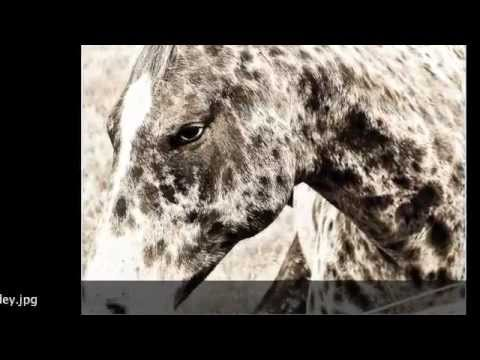 The appaloosa horse a magnificent breed