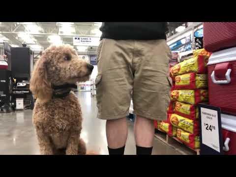 Best Dog Training Toledo, Ohio! 1 Year Old Goldendoodle, Chester