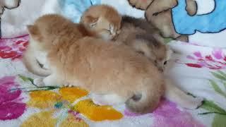 Котята окрас золотая шиншилла