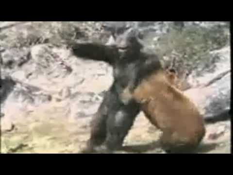 Silverback Gorilla Fighting A Lion
