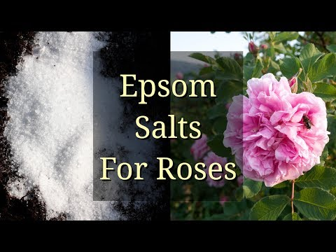 Epsom Salts For Roses