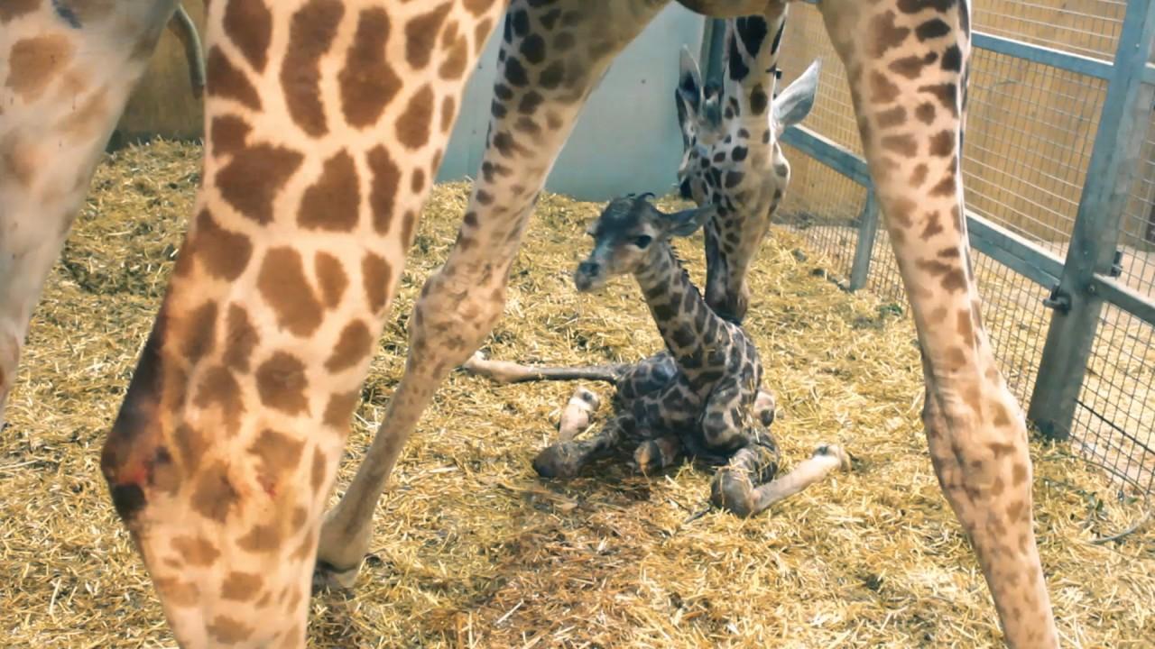 Giraffe giving birth gif