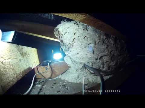 Man With Shop Vac Destroys a Huge Wasp (Yellow Jacket) Nest