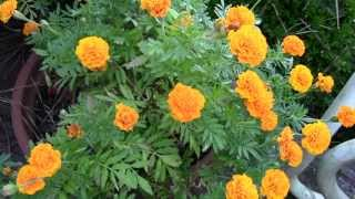 SAVING SEEDS TIPS - MARIGOLDS