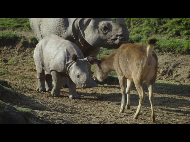 Baby Rhino Explores His World