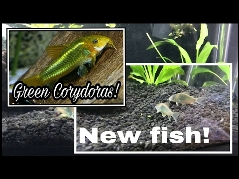 New Emerald Green Corydoras For The 20 Gallon Planted Aquarium Let's Take A Tour & Feed  Bloodworms
