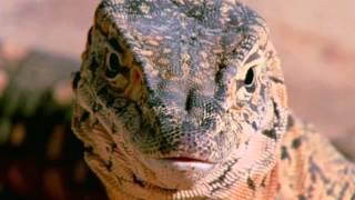 Способность гигантского варана к бегу LCB3_Educational movie is used on batrachos.com