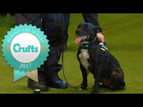 Stella the Staffie Police Dog | Crufts 2017
