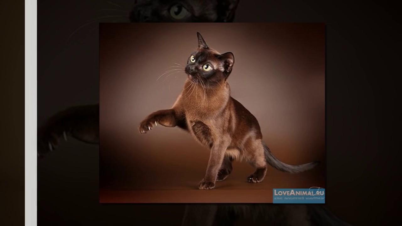 бурманская кошка - YouTube
