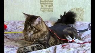 Самые большие кошки в мире порода Мейн Кун. 01.05.2014 Первый нацианальный Кто в доме хозяин