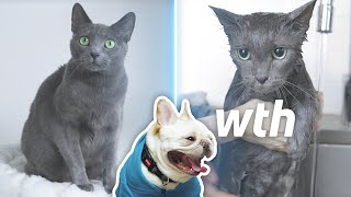 What it is like to Bath Cats! (feat. Russian Blue and French Bulldog)