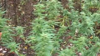FINDING A MARIJUANA GARDEN IN THE WOODS