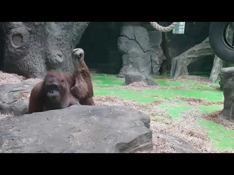 A family of Northwest Bornean orangutan
