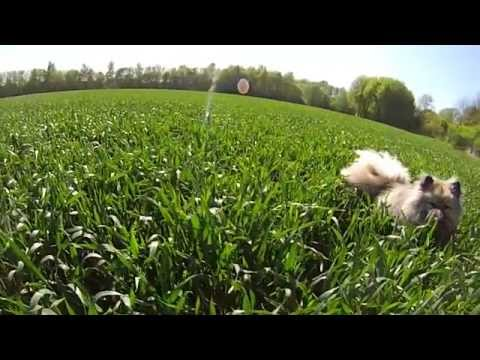 GoPro Dogs life - Keeshond Chester
