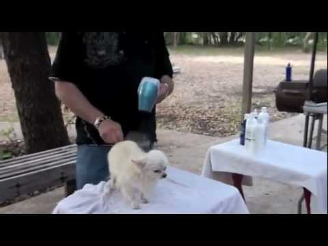 Grooming the Chihuahua