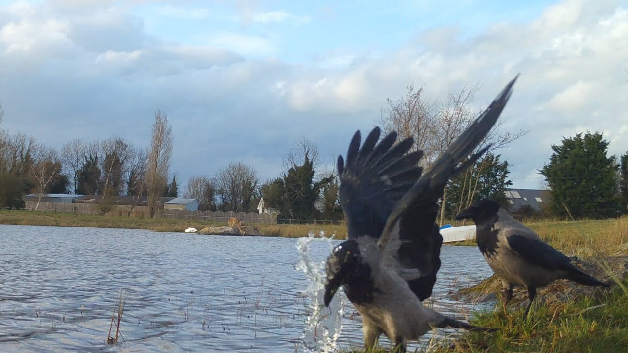 Hooded crows go fishing. Серые вороны ныряют за рыбой.