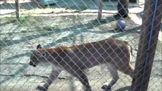 Florida Panther Pacing Around