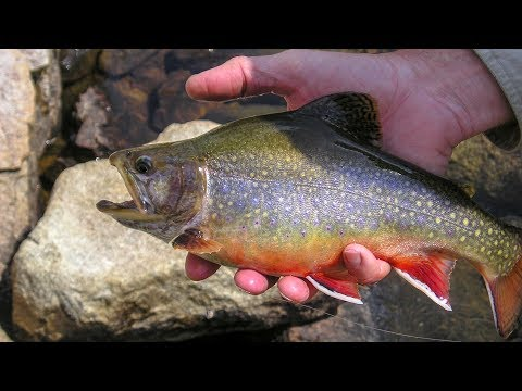 Montana High Lakes Brook Trout