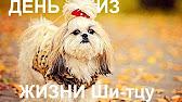 Объявления. Собаки, щенки ши-тцу, цены, торговля, фото, kартинки, продажа. Объявления вся россия дата · возраст · цена · москва, мо. Срочно.