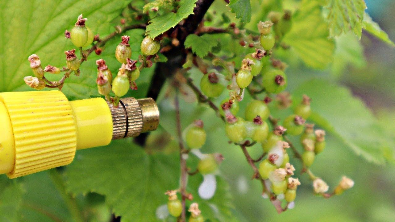 Не пропустите важную обработку смородины и крыжовника после цветения от вредителей и болезней!