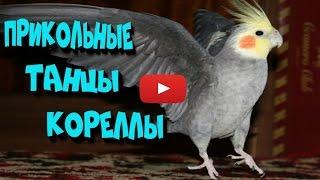 Корелла танцует. Жизнь попугаев.(В этом видео вы увидите как корелла прикольно танцует. Это видео было не просто снять, потому что он редко..., 2016-06-14T02:39:58.000Z)