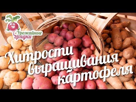Хитрости выращивания картофеля. Сорта картофеля #urozhainye_gryadki