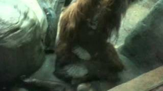 Download Video Orangutan SEX!!! MP3 3GP MP4