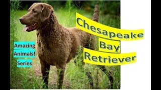 Chesapeake Bay Retriever  Pet Dogs  largesized breed from