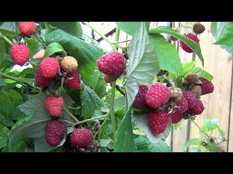 177. Что важно сделать для малины весной
