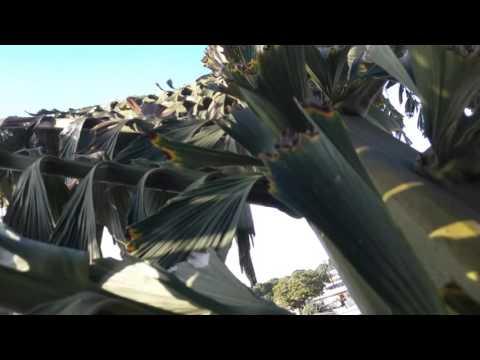 My Fishtail Palm Tree