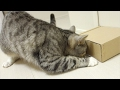 cute cat trying hard to open box / 【猫 かわいい】猫が箱を開けようと頑張っている