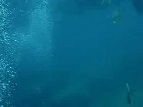 Diving with whale shark at Koh Chang, Thailand