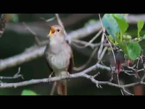 One Bird | Multiple Sound| |Nature Lover