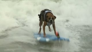 Surf Dog Competition hits Imperial Beach, California