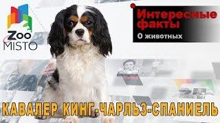 Кавалер кинг-чарльз-спаниель - Интересные факты о породе  | Собака кавалер кинг-чарльз-спаниель