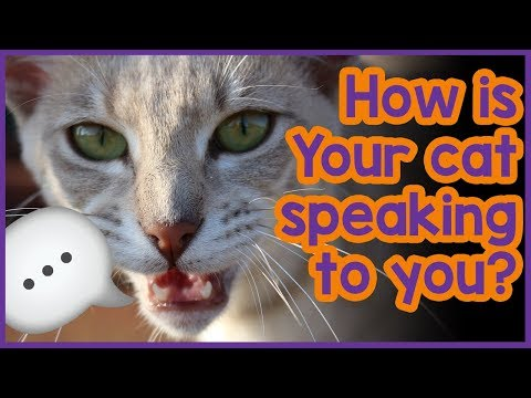 How Do Cats Communicate With Humans - Cat Chat Tips!