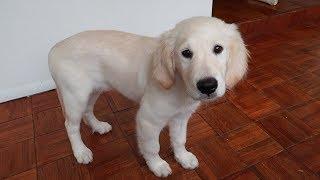 I GOT A PUPPY! Meet Salsa the 11 Week Old Golden Retriever!