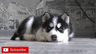 siberian husky puppies funny videos 2018