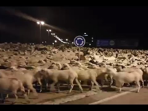 This is what it looks like when 1,300 sheep make a break for it